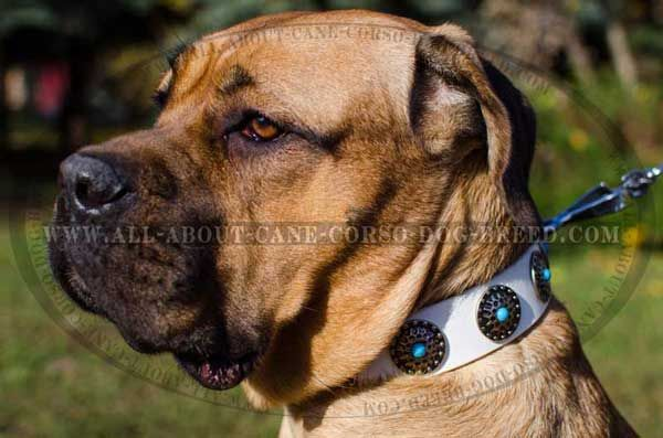 Get this White #Leather #Cane #Corso #Collar for Fashion Walking. $54.90