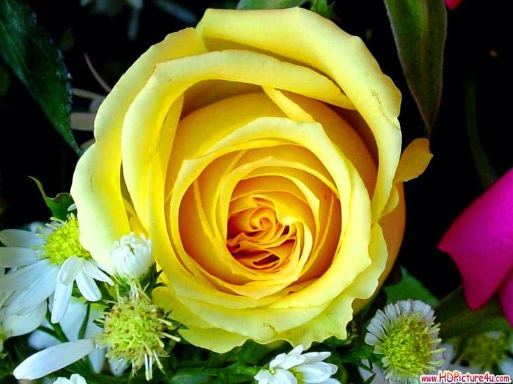 Widescreen Yellow Rose Images