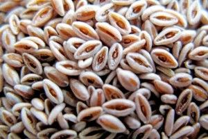 semena-podorozhnika-lechebnye-svojstva-i_1