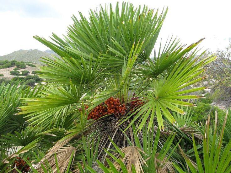 European Fan Palm, Chamaerops humilis, Tree Seeds (Fast, Showy, Hardy Evergreen)