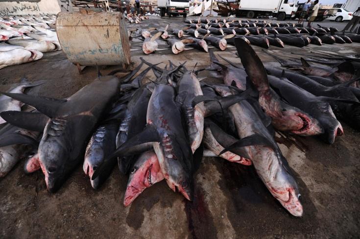 The Shark Trade of the Arabian Sea - LightBox