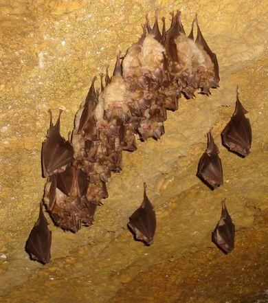 téli álmot alvó denevérek/bats hibernate in dripstone cave/Abaliget in Hungary