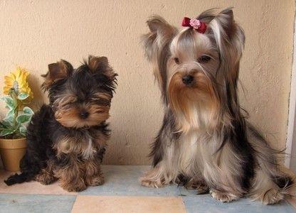 Les 59 meilleures images du tableau chiens sur pinterest - Dessiner un yorkshire ...
