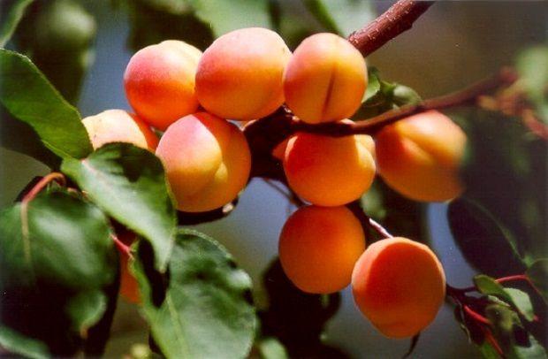 Kayısı    Ülkemizde pek çok çeşidi ile yetiştirilen bir meyve cinsidir. A, B, C ve P vitamini açısından zengindir. Bol miktarda demir içerir. Magnezyum, kalsiyum, fosfor, kükürt, bakır, krom ve manganez mineralleri açısından zengindir.    Besleyici ve iştah açıcıdır.    Kansızlığa iyi gelir.    Kansere karşı koruyucudur.    Yorgunluğu giderir.    Gelişim bozukluklarına karşı koruyucudur.    Çocuklara mevsiminde bol bol  yedirilmelidir.    Cildi nemlendirir ve besler.