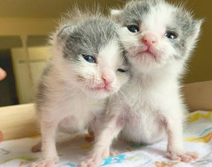 Twin Kittens Insist On Staying Together Helping Each Other Thrive Love Meow In 2020 Kittens Cute Cats Animal Welfare League