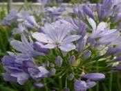 AGAPANTHUS africanus 'Blue' SG9 . http://www.fidanistanbul.com/urun/703_agapanthus-africanus-blue-sg9-.html Fidan Satışı, Fide Satışı, internetten Fidan Siparişi, Bodur Aşılı Sertifikalı Meyve Fidanı Süs Bitkileri,Ağaç,Bitki,Çiçek,Çalı,Fide
