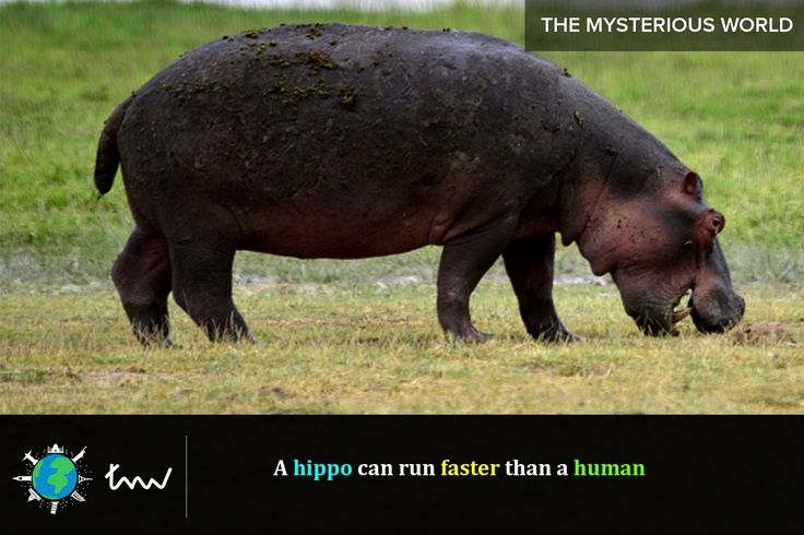 #animals #hippo #facts