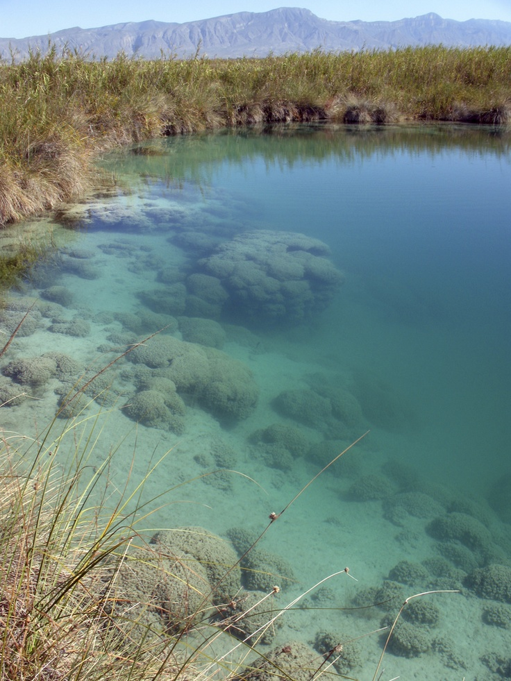 Freshwater Stromatolite Reef in Cuatro Cienegas Coahuila Mexico