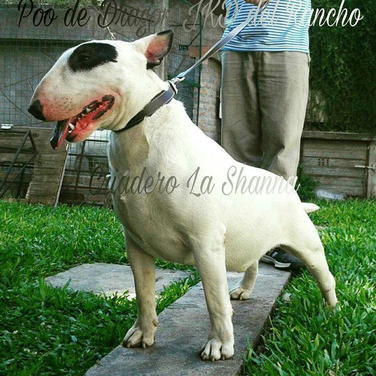 https://articulo.mercadolibre.com.ar/MLA-609346698-bull-terrier-criadero-la-shanna-fca-los-mejores-seguro-_JM