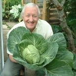 If you're new to growing cabbage  Remember - firm planting helps to grow firm, tight heads. Firm the soil around each plant with your hands or the dibber.  Apply a foliar feed during summer as the plants respond very well to this. Far more nutrients are absorbed than by feeding at the roots.