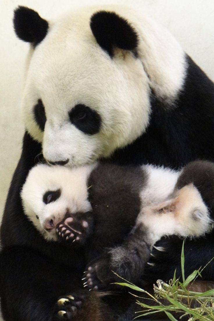 Yuan Yuan and her cub (nicknamed Yuanzai) at the Taipei Zoo in Taiwan on October 8, 2013. © Taipei Zoo.