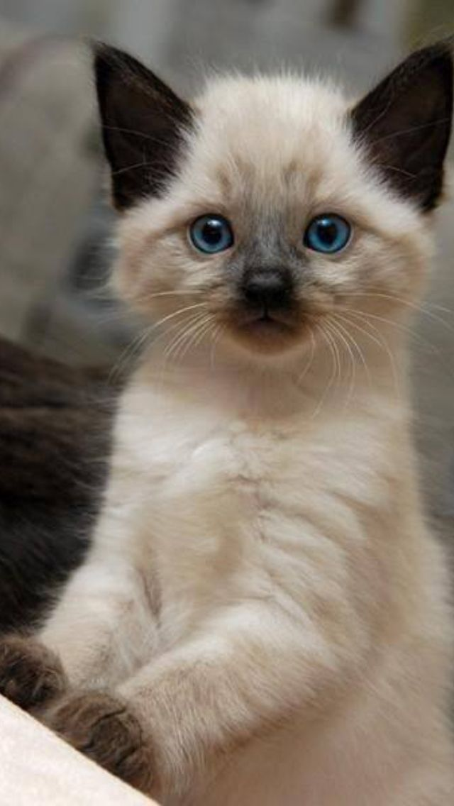 siamese x ragdoll kittens - photo #48