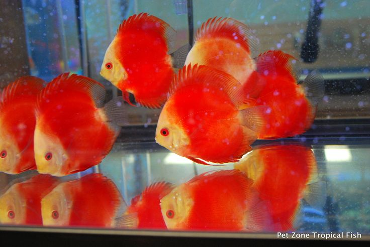 Melon Red Discus.  One of the most bright and beautiful red colored Discus out there!  With such beauty, these Discus are eyecatchers!!