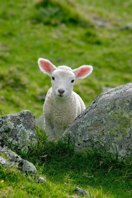 Shy Lamb by Short_ribs on Getty Images