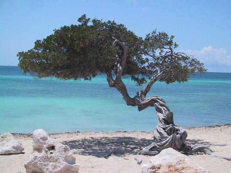 El Árbol Divi es quizá de las mayores curiosidades o atracciones que rodean las playas de Aruba. Su particular forma le regaló la fama ante los turistas!!!    Fuente: http://blogdeviajesalcaribe.com/tag/viajes-panama/