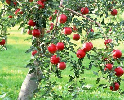 5 Pasos simples para crecer semillas de Manzana