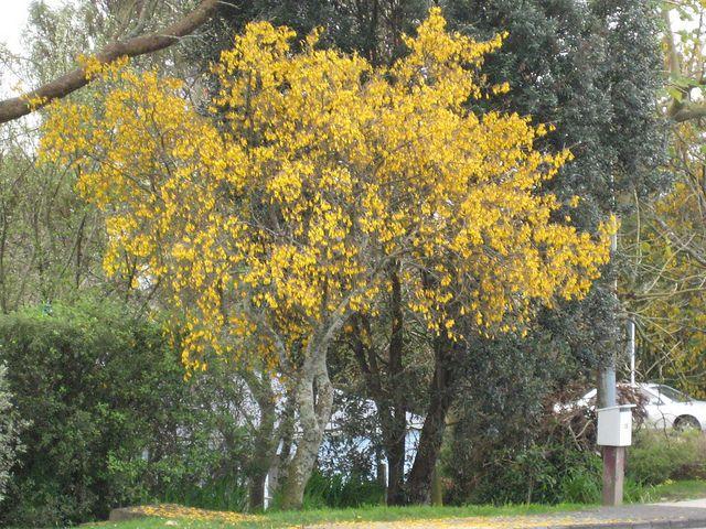 Kowhai Tree - New Zealand
