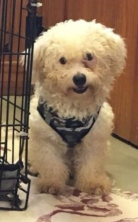 Adoption Status Unknown - Mary Esther, FL - CJ is an adoptable Bichon Frise searching for a forever family;  LOCATED at Save UnderDogs, Mary Esther, FL