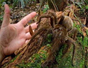 Wah, Laba-laba Ini Sebesar Anak Anjing