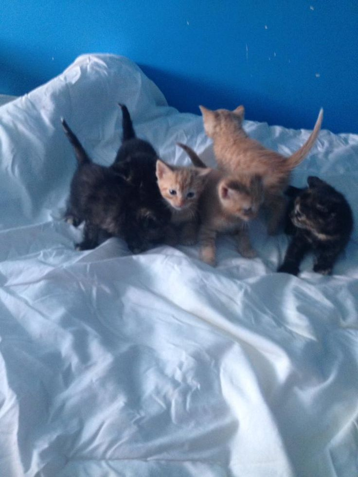 3 ginger males and 3 ginger and black females born on the 14/02/17 and will be ready on or around th