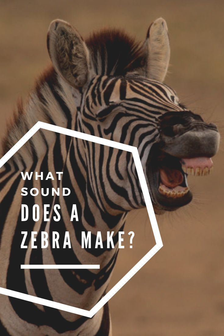 What Sound Does a Zebra Make? Zebra Sound Effects Included