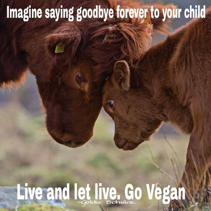 """Female cows are held against their will, sexually assaulted/violated and artificially impregnated against their will, and 9 months later, give birth to a baby calf who is forcibly taken from them against their will so we can steal the baby's milk. Boys are murdered for """"beef"""" or """"veal""""; girls are forced against their will to be dairy slaves like their moms. """"Spent"""" cows are often pregnant when murdered. Live vegan & learn reverence for life. Stop stealing what isn't yours…"""