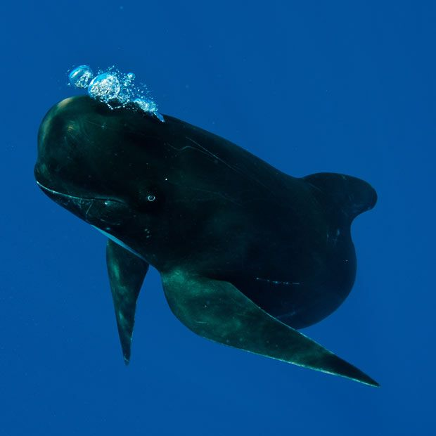 Pilot whale in the Strait of Gibraltar.