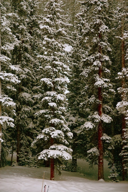 snowy fir trees forest - photo #46