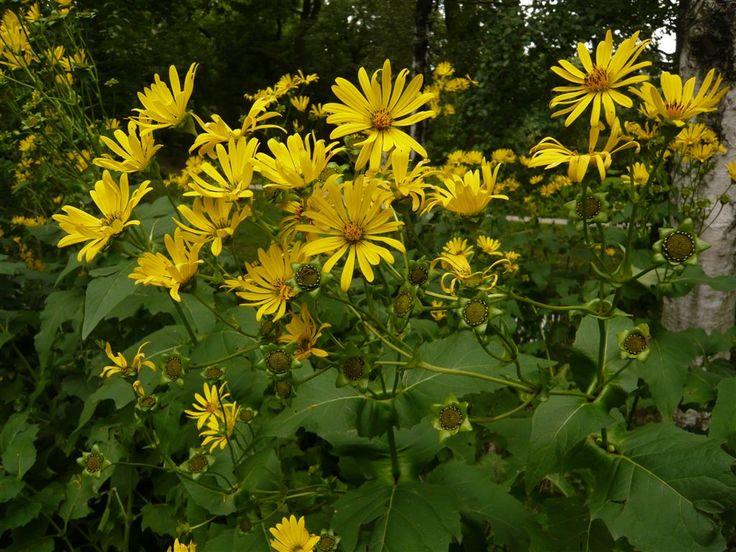 Verwachsenblättrige Becherpflanze (Silphium perfoliatum)