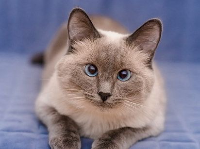 Colorpoint Shorthair Country of origin: United Kingdom While Colorpoint Shorthairs may not shed as much as their Siamese and Abyssinian relatives, they are known for being extremely high-maintenance. Try to avoid if you're a person who fancies quiet time to themselves.