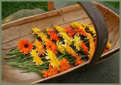 Pretty Calendulas for flower arranging.