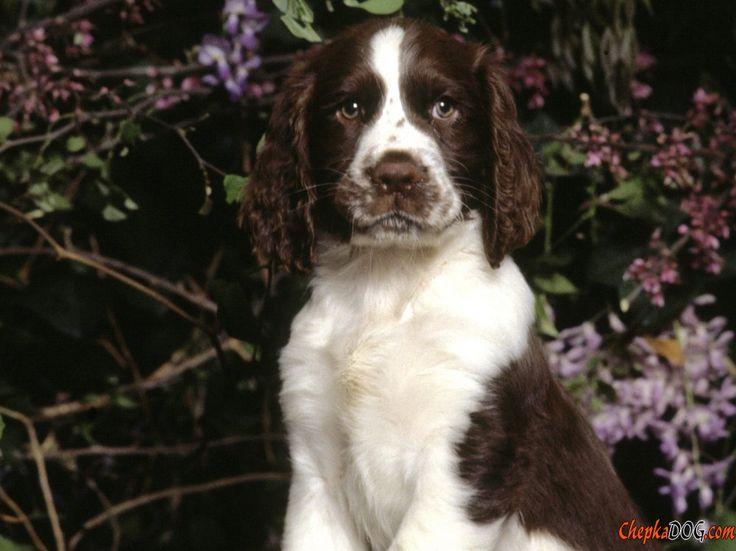 les 25 meilleures id es concernant races de chiens de taille moyenne sur pinterest chiens et