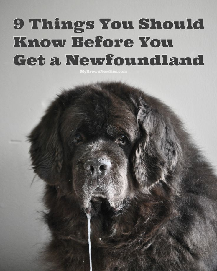 Cool Newfoundland Chubby Adorable Dog - c8fbde224b8f8559e63982beedf3d69a--newfoundland-puppies-big-dogs  2018_764431  .jpg