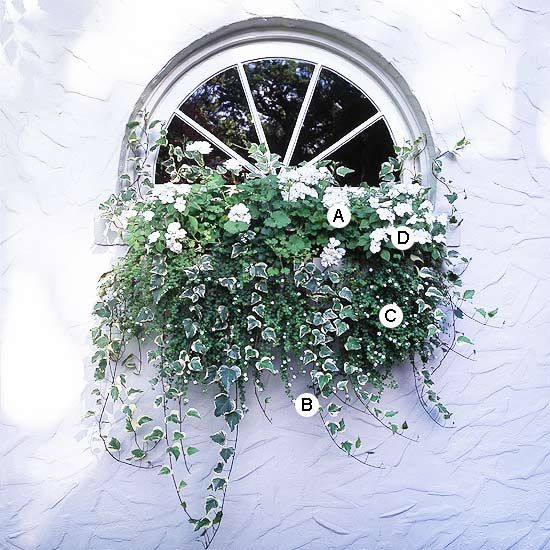 Shaded window box idea- Use White to Add Elegance A single color -- here, white -- accented with variegated foliage is graceful and beautiful in a simple window box. A. Geranium (Pelargonium 'Orbit White') -- 1 B. Ivy (Hedera helix 'Glacier') -- 4 C. Bacopa (Sutera 'Snowstorm') -- 3 D. Impatiens 'Xtreme White' -- 2
