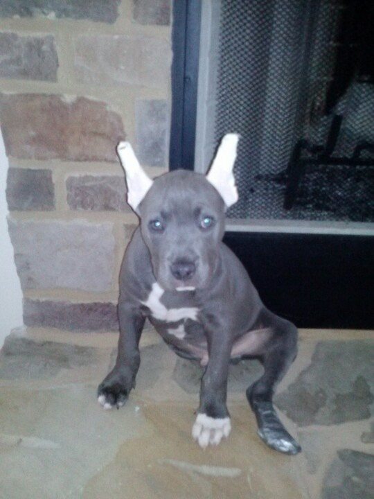 ACHILLES. My Blue nose , pitbull, puppy after his ear ...