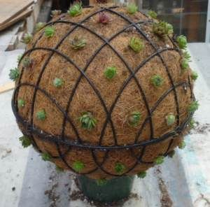 How to: Succulent Sphere from 2 hanging baskets, could do annuals too