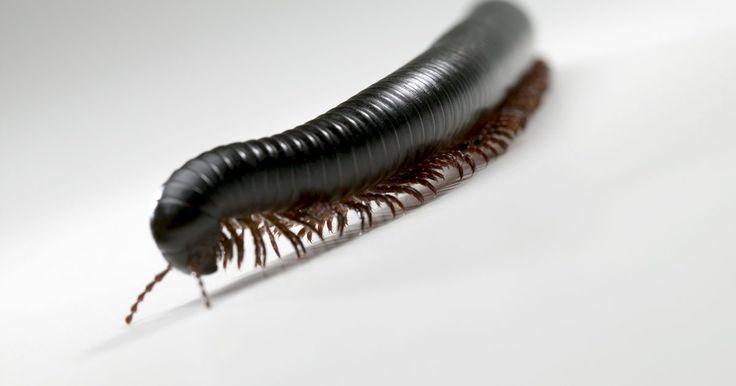 """Pequenos insetos pretos em torno da janela do porão . O porão é uma parte da casa que atrai uma grande variedade de insetos que gostam de umidade. Devido ao porão ser bastante úmido, esse ambiente acaba se tornando um ponto de encontro de insetos, seja no piso, parede ou nas janelas. Os insetos diplópodes são comumente encontrados em porões e """"migram"""" para as casas em grandes números. O escaravelho é ..."""