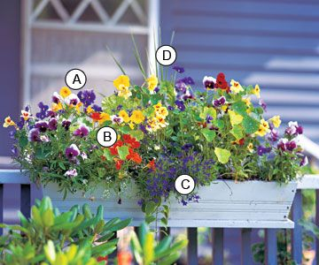 Here's another enchanting planting to decorate your deck or your home. Because pansy is a cool-season plant, you have the opportunity to give your window box a new look as the seasons change. Don't be afraid to swap it out and replace it with a heat-loving plant such as blue angelonia to keep the drama going into summer. A. Pansy (Viola 'Delta Beaconsfield') -- 3 B. Nasturtium (Tropaeolum 'Fordhook Favorites') -- 1 C. Lobelia 'Riviera Midnight Blue' -- 1 D. Dracaena marginata -- 1/