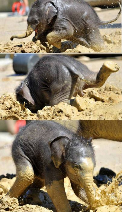 3 week old baby elephant plays in the mud at the zoo in Munich and face-plants but gets up quickly and continues his playful journey.