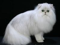 Persian  http://caramerawatkucing1.blogspot.com/2012/10/cara-merawat-kucing-persia-kesayangan.html