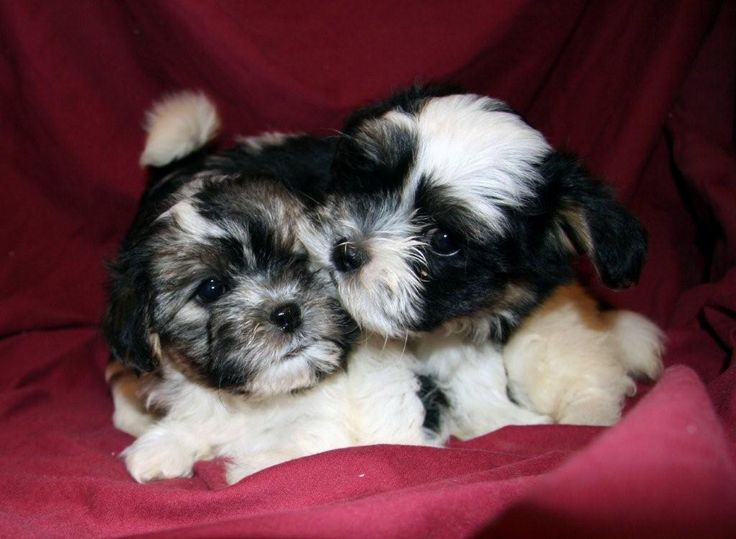 Shichon puppies / Teddy Bear Teddy bear puppies, Shichon