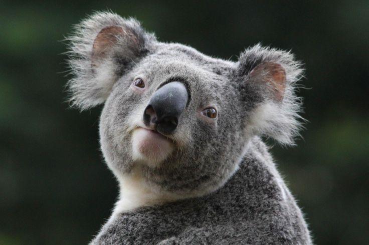 Koala HD Wallpapers and Backgrounds