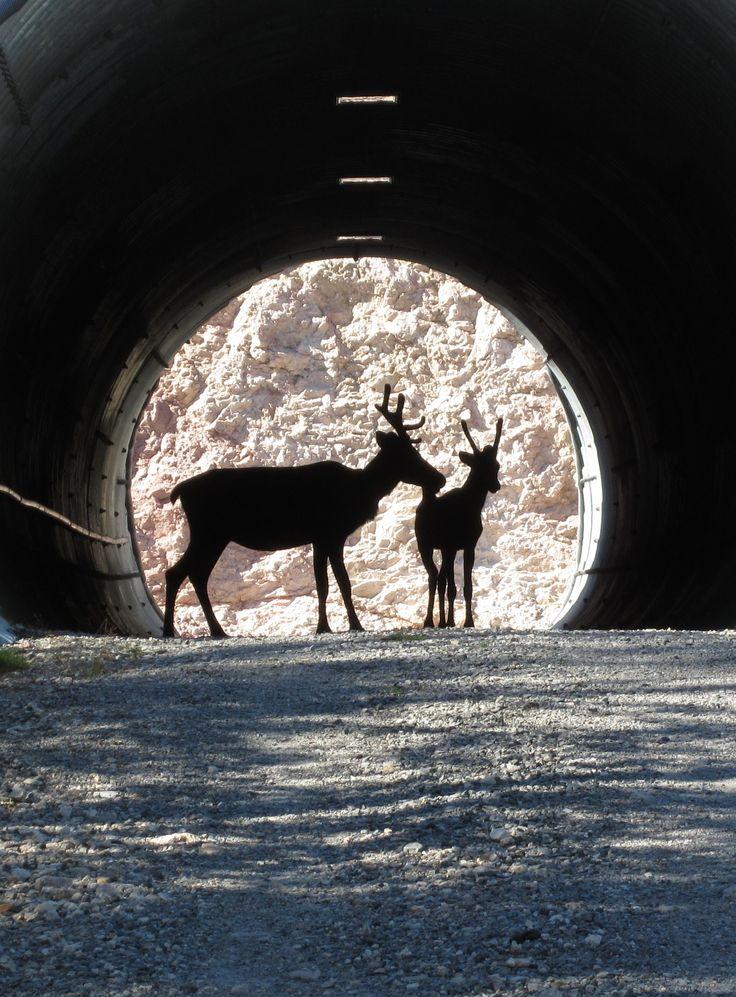 Reindeer at Ruka, Kuusamo Finland