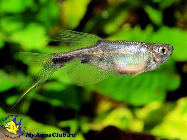 corynopoma riisei | Дракон (Corynopoma riisei) - аквариумная рыбка ...