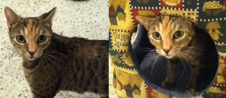 This is Thelma.   She had four kittens on the streets when she was just a teenager herself.   Her kittens found homes but mom hasn't yet and very much wants a human of her own.  If you can give Thelma a home, e-mail pilotom@bellsouth.net