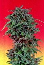 Durban Posion Feminised Cannabis Seeds