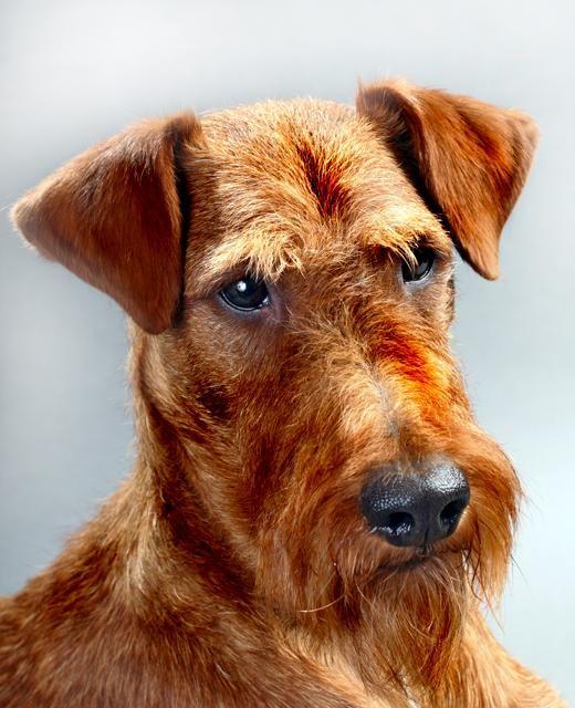 Irish Terrier dog breed information   Noahs Dogs