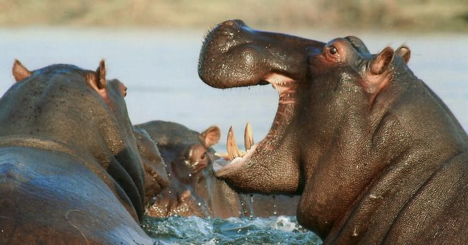 Poaching in Africa truly is a problem. Elephants, Rhinos and now Hippos are targeted. Hippo teeth: Hong Kong trade threatens species in Africa #africa https://buff.ly/2iPNMNf?utm_content=bufferc982f&utm_medium=social&utm_source=pinterest.com&utm_campaign=buffer