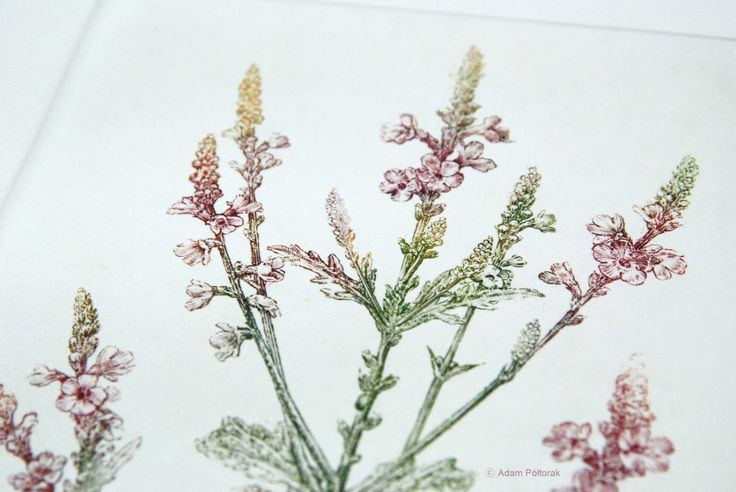 Verbena - handmade copper-plate etching & engravings print ideal home decor by AtelierPoltorak on Etsy