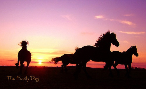 Friese Paarden by The Family Dog on Flickr.